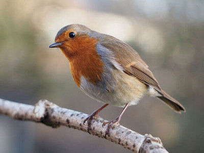 What Makes a Robin?