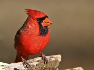 All About Cardinals